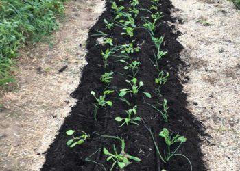 Plantation d'épinard et oignons