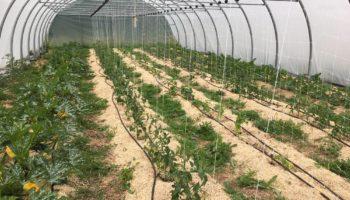Plantation sous tunnel de tomates, courgette, ... en Cotentin