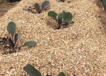 Plantation de choux